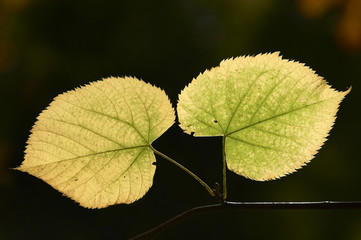 a matching pair of leaves on a twig