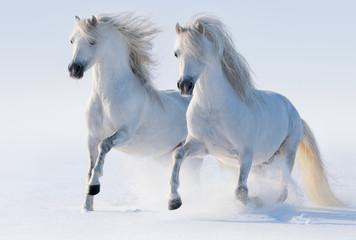 Wall Mural - Two galloping snow-white horses