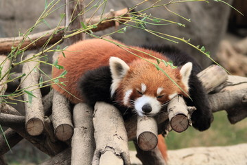 sleeping red panda in Hong Kong