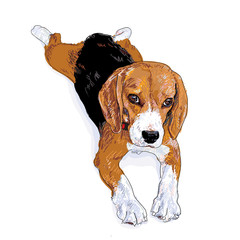 The rest time of beagle