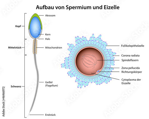 Organelles in sperm cell
