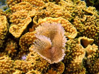 Gills of sea worm, Red sea, Dahab