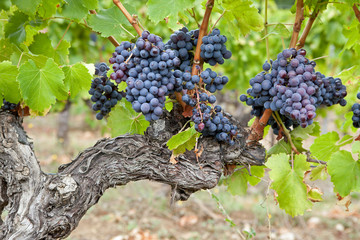 """Résultat de recherche d'images pour """"grappe raisin"""""""