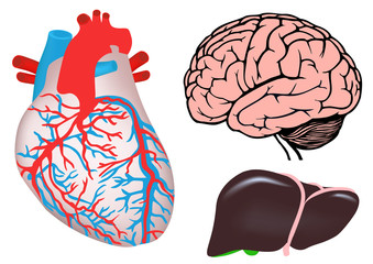 human heart, liver and brain. vector medicine illistration