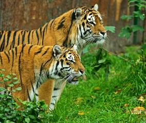 Wall Mural - Tigers
