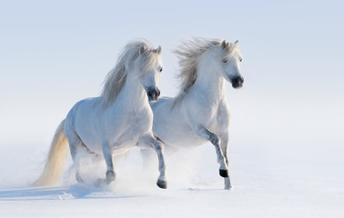 Fototapete - Two galloping snow-white horses