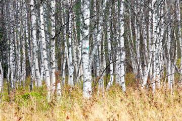 Keuken foto achterwand Berkbosje Natural background - a autumn birchwood