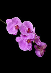 branch orchid on a black background