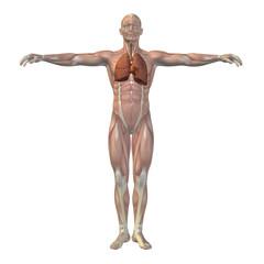 High resolution conceptual human 3D respiratory system
