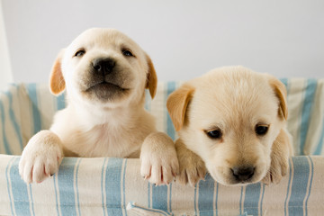 Puppies in basket - portrait of cute labrador puppies