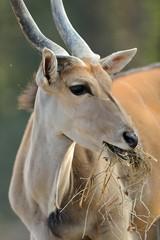 Photo sur Aluminium Animaux de Hipster antilope