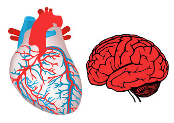 human heart and brain