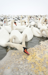 Swan eating food on ice