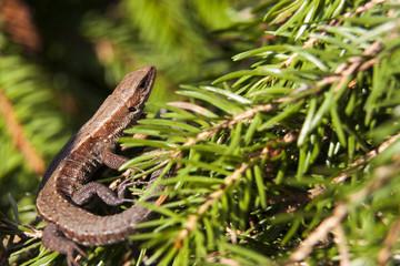Lizard on fir tree branches