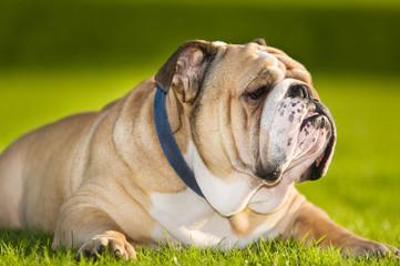 Beautiful dog english bulldog outdoors