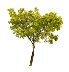 green isolated on white maple tree