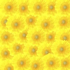 colorful beautiful background of yellow gerbera flowers