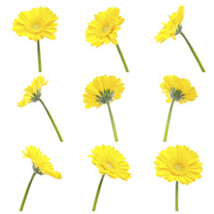 set of different view of a gerbera yellow flower, composite