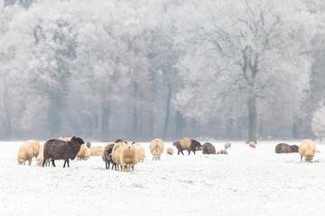 Dutch sheep in a winter landscape
