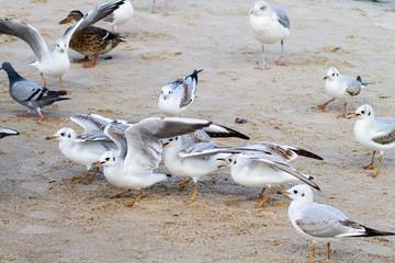 Möwen beim füttern am Strand