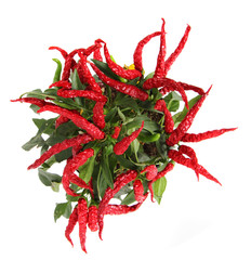 red chili isolated