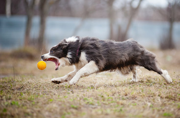 Blue Border Collie dog playing with a toy ball