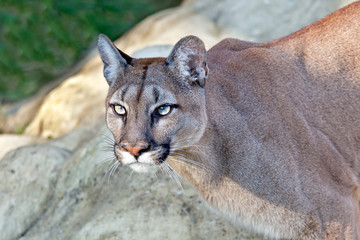 Wall Mural - Head Shot of Beautiful Puma in Afternoon Sun