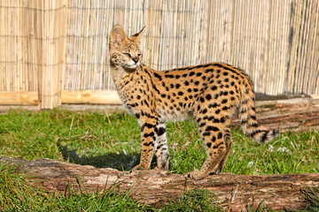 Wall Mural - Serval Kitten Standing on Log in Sunshine
