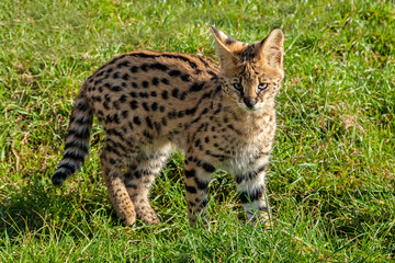 Wall Mural - Cute Serval Kitten Standing on Grass