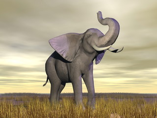 Elephant in the savannah