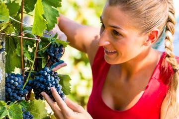 Winzer pflückt Wein Trauben zur Erntezeit