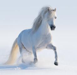 Fototapete - Galloping white Welsh pony