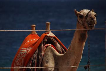 kamel grossansicht