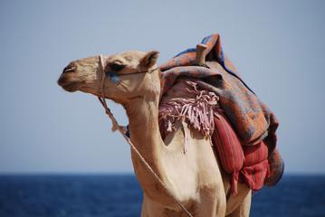 kamel schaut seite