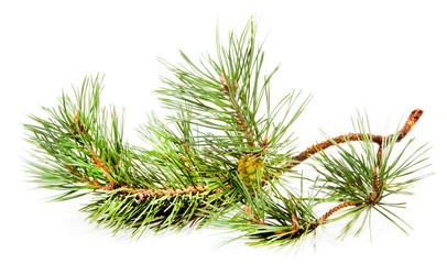 Green fir branch with fir cone
