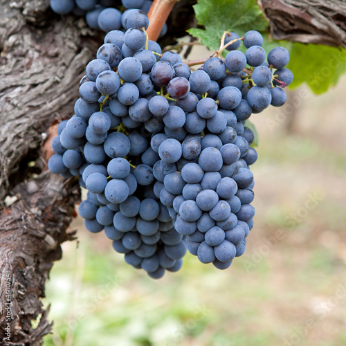 vignobles grappes de raisin sur pied de vigne photo. Black Bedroom Furniture Sets. Home Design Ideas