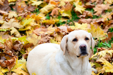 Labrador retriever lying at autumn leaves