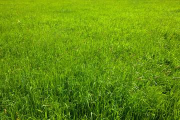 green grass in wild meadow