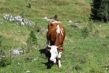 Mucca al pascolo,Dolomiti