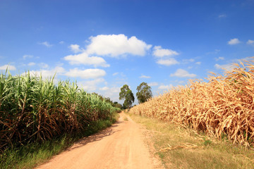 green cane and corn field farm beautiful blue sky