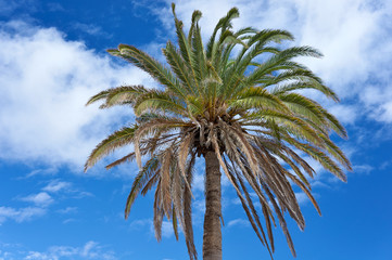 The Canary Island Date Palm Tree (Phoenix canariensis) against t