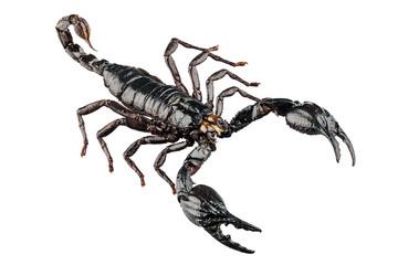palamnaeus fulvipes