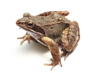 common frog (Rana temporaria) over white