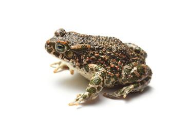 green toad (Bufo viridis) over white