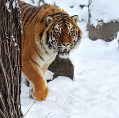 Tiger winter