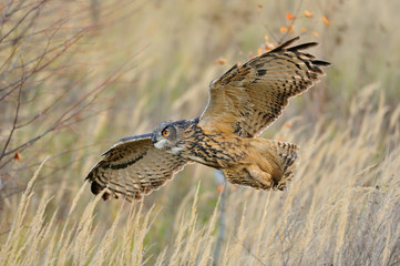 Flying Eurasian Eagle-Owl