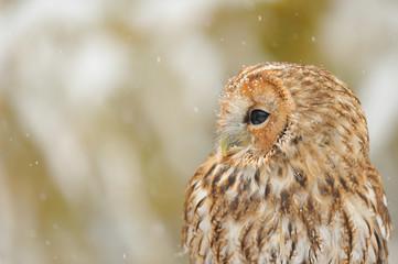 Wall Mural - Tawny owl portrait