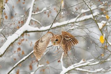 Wall Mural - Flying tawny owl
