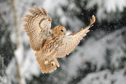 Wall mural Landing tawny owl