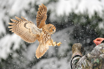 Wall Mural - Landing tawny owl on glove